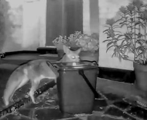 The Blink XTs IR illuminator picks up a hungry nocturnal urban fox.